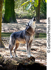Gray Wolf Howling - Gray wolf standing on a log and howling.