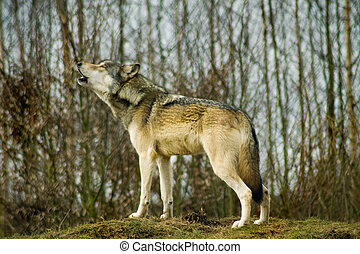 Grey or Gray wolf howling on a hill in in front of woods