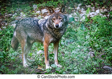 Gray wolf in forest on the green grass. The wolf, Canis lupus