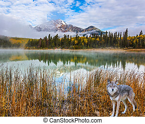 Gray wolf in the Rockies