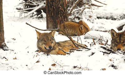 gray wolf in the wood in the winter - gray wolf (canis...