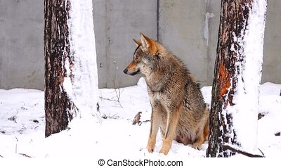 gray wolf in the wood in the winter