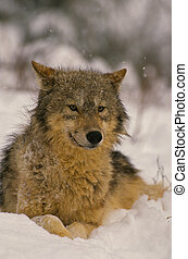 Gray Wolf in Winter - a gray wolf laying down in a snowstorm