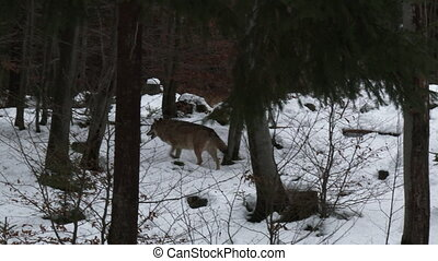 Gray wolf in winter forest