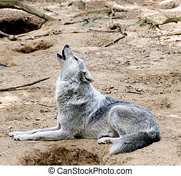 Gray Wolf Laying Down and Howling - Gray wolf laying down on...