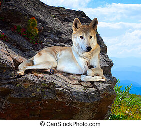 Gray wolf lays on stone in wildness