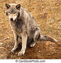 Gray Wolf Looking at You