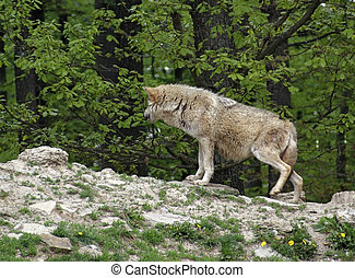 Gray Wolf on small hill