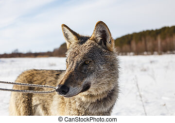 Gray wolf on the background of a stunning blue sky. Winter warm sun and snow