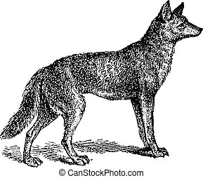 Gray Wolf or Canis lupus, vintage engraving