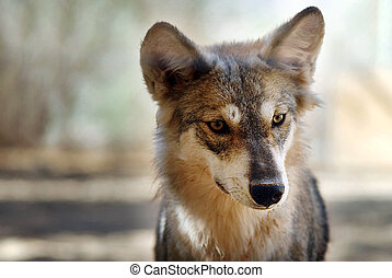 Gray wolf or grey wolf (Canis lupus) portrait.