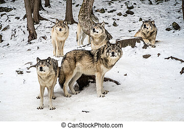 Gray wolf pack with alpha in the center looking at camera
