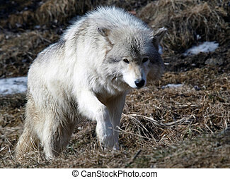 Gray Wolf - Picture of a beautiful gray wolf on a sunny day