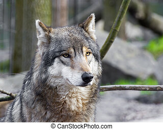 Gray wolf portrait