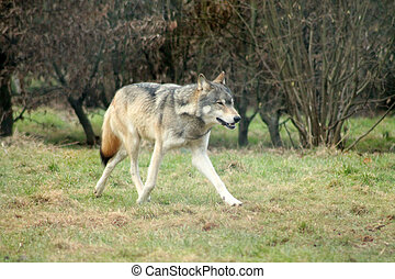 Gray Wolf running by woods