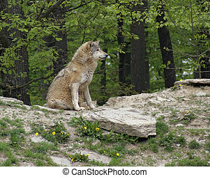 Gray Wolf sitting on small hill - Gray Wolf in natural ...
