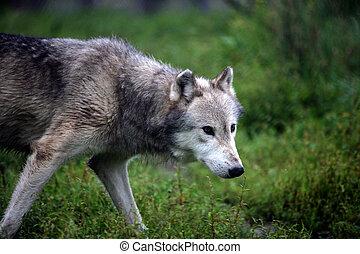 gray wolf walking in an open field