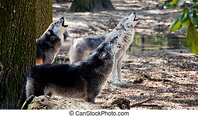Gray Wolves Howling - Three gray wolves howling in the...
