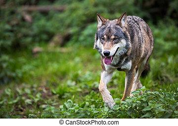 gray/eurasian, lobo, (canis, lupus)