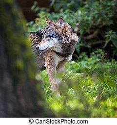 gray/eurasian, lupus), wolf, (canis