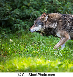 Gray/Eurasian wolf (Canis lupus)