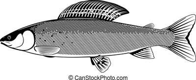 grayling, fish, 白, 黒