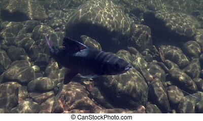 Grayling fish on the hook underwater on fishing in Mountain...