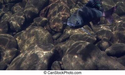 Grayling fish underwater on fishing in Mountain river Temnik.