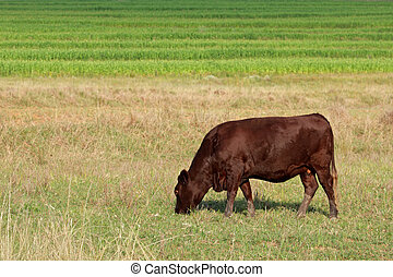 grazen, koe