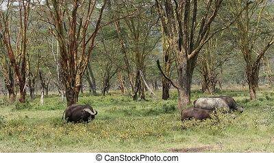 African buffaloes (Syncerus caffer) grazing among Acacia trees, Lake Nakuru National Park, Kenya