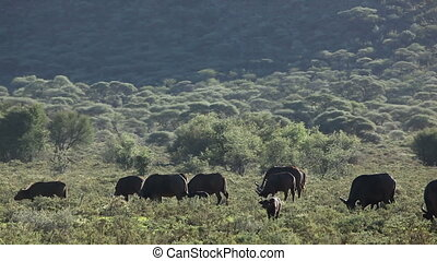 Herd of African buffalos (Syncerus caffer) grazing, Mokala National Park, South Africa