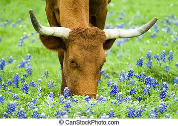 Grazing Amongst the Bluebonnets - Horned bovine grazing...