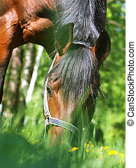 grazing bay horse