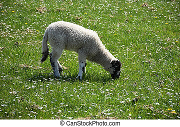 Grazing Beulah Speckled Face Lamb in a Field of Flowers
