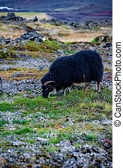 Grazing black sheep