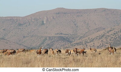 Blesbok antelopes (Damaliscus pygargus) grazing in open grassland, South Africa