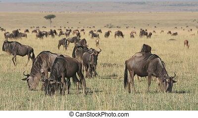 Grazing blue wildebeest
