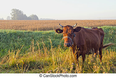 Grazing brown cow.