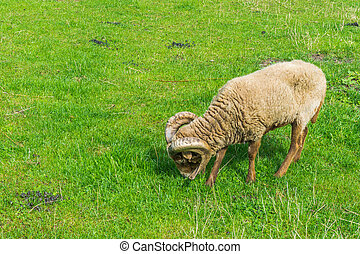 grazing brown tup sheep in grass pasture