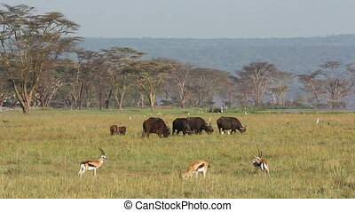 African buffaloes and Thomsons gazelle in open grassland with birds flying, Lake Nakuru National Park, Kenya