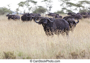Grazing buffaloes in the wilderness