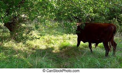 Grazing bull eats fresh green grass - Grazing bull eats...