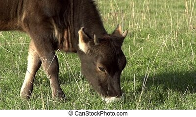 Grazing Calf - Calf grazing on a green spring meadow. Motion...