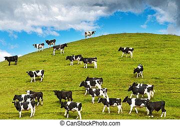 Grazing calves on green hill, New Zealand