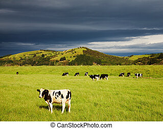 Grazing calves on the green field, New Zealand