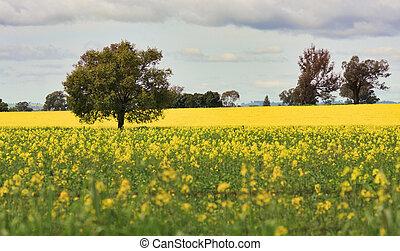Grazing Canola alongside a field of Canola