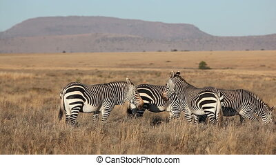 Grazing Cape Mountain Zebras