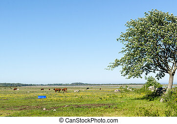 Grazing cattle in a coastland by spring season by the coast...