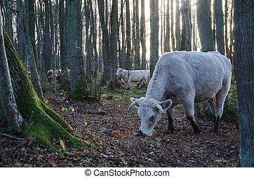 Grazing cattle in forest - Grazing white cattle among trees...