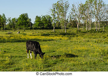 Grazing cow in a bright colorful pasture land
